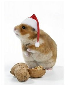 "Syrian Hamster * * "" OKEY, KIN I START EATIN' DEH  WALNUTS NOW ? """