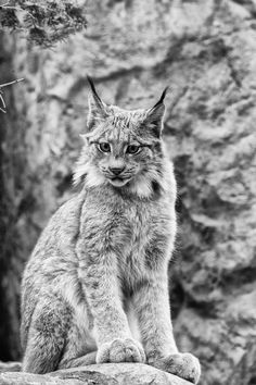 Lynx cat I absolutely love these. one of my favorite cats I Love Cats, Big Cats, Cool Cats, Animals And Pets, Funny Animals, Cute Animals, Wild Animals, Baby Animals, Mundo Animal