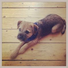 Jimmy 4/5 months Save Animals, Animals And Pets, Cute Puppies, Dogs And Puppies, Pet Dogs, Dog Cat, Skinny Dog, Border Terrier, Best Dog Breeds