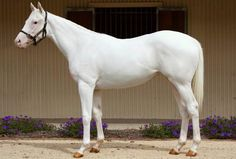 Thoroughbred mare, The Opera House, dominant white. Probably the rarest color of all for a thoroughbred. The genetic odds are extremely high for this mutation. Hundreds of thousands of thoroughbred race horses have been registered, and only about 150 have been white. That's not the gray that looks white nor is it albino. She is in perfect health in this 2008 photo.