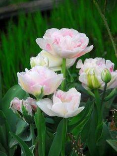 """Tulipe """"Angélique"""""""