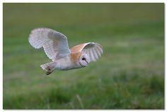 Eind van de jaren '70 stond de Kerkuil (Tyto alba) op de 'Rode Lijst' van de met uitsterven bedreigde vogelsoorten in België. Op het einde van 1979 werd een werkgroep opgericht met als voornaamste doel het behoud van de Kerkuil als broedvogel in ons land. Dertig jaar na de oprichting van deze speciale werkgroep, gaat het terug beter met de Kerkuil in Vlaanderen.