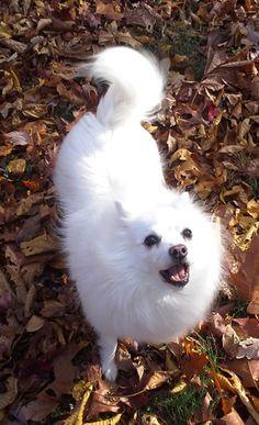 Keke, my other American Eskimo