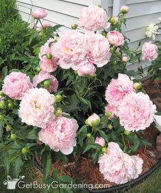 Flower Garden Light pink peony flowers kept upright with grow through plant supports - If peony flowers are left unsupported, they will fall over. Learn about peony supports, how to keep peonies from drooping, and other peony care tips. Bloom, Planting Flowers, Plants, Peony Care, Peony Support, Beautiful Flowers, Peonies Garden, Flowers, Peony Flower