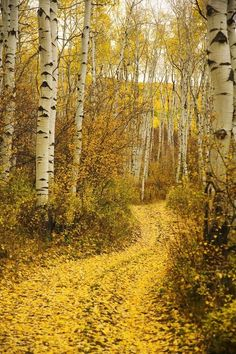 Ron Dahlquist Premium Thick-Wrap Canvas Wall Art Print entitled Colorado, Yellow Aspen Leaves On Country Road, None Aspen Leaf, Aspen Trees, Autumn Scenes, Belle Photo, Beautiful Landscapes, Mother Nature, Paths, Nature Photography, Wedding Photography
