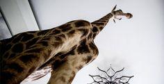 ΜΟΝΙΜΗ ΕΚΘΕΣΗ ΦΥΣΙΚΗΣ ΙΣΤΟΡΙΑΣ | Μουσείο Γουλανδρή Φυσικής Ιστορίας Natural History, Giraffe, Nature, Animals, Felt Giraffe, Naturaleza, Animales, Animaux, Giraffes