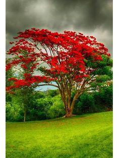 What a beautiful tree! Royal poinciana (flamboyant tree) in Puerto Rico Puerto Rico, Nature Tree, Flowers Nature, Tropical Flowers, Red Flowers, Tree Forest, Plantation, Flowering Trees, Amazing Nature