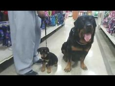 Rottweiler meets baby Rottweiler and Baby Huskies - YouTube