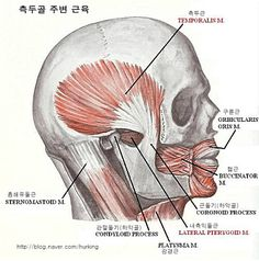 S.O.T의 Neuro Musculoskelatal System : 신근골계2. : 네이버 카페