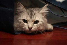 Cat In The Bag by Mischi3vo (v)