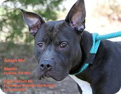 American Pit Bull Terrier Mix Dog for adoption in MIDDLE ISLAND, New York - SIMBA