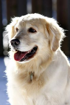 Golden Retriever     Make your relationship great with your dog  Go here to see howhttp://mylink.linktrackr.com/Dtraining