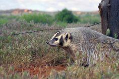 American Wild Animals | American badger in Utah. Photo by Lynn Chamberlain - Utah Division of ...