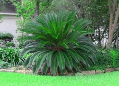 Sago Palm for Sale | Cold Hardy Arizona Palm Trees - Moon Valley Nursery Phoenix Arizona slow growing, good accent