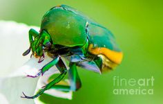 ne Bug Fig Beetle Photograph by Michael Moriarty