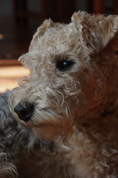 Lakeland Terrier what a face! Lakeland Terrier Puppies, Rat Terrier Dogs, Terrier Breeds, Airedale Terrier, Dog Breeds, Fox Terriers, Wire Haired Terrier, Wire Fox Terrier, Pet Dogs