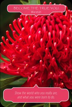 """Card of the Day: Waratah ~ Become the True You """"Show the world who you really are and what you were born to do.""""  The angels say to me, """"Oh, Dearest One, please stop hiding who you truly are. Being accepted by others by putting on a false face serves no one. Now is the time to release the illusion you have been keeping and become your true self.""""  While it may be nice to have a lot of... #cardoftheday #flowertherapy #oraclecards #doreenvirtue #robertreeves #trueself #illusions #letitgo"""