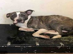 #Adopt #Georgia ID #A000954 -Name is JAUGERNAUT MALE-2-YR-PIT BULL TERRIER MIX  Clayton County Animal Control  https://www.facebook.com/photo.php?fbid=1983782698561472&set=a.1378206132452468.1073741828.100007892825567&type=3