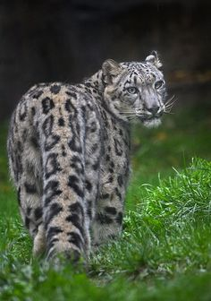 Snow Leopard  (by Ion Moe on Flickr)
