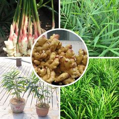 Perennial ginger seeds vegetable seeds zingiber officinale seeds balcony fruits and vegetables - 100 pcs