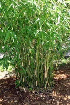 Bambusa-Green-Hedge-Bamboo-3-PLUS-FEET-TALL-Clumping-Form-NON-INVASIVE-b
