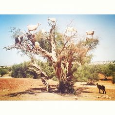goats! you are not birds. get down from there