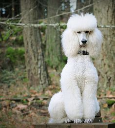 White Standard Poodle - Gunther