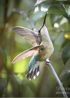 Ruby-throated Hummingbird - 'Rejoice' by Amy Porter / Fine Art America Pretty Birds, Beautiful Birds, Animals Beautiful, Cute Animals, Beautiful Pictures, All Birds, Little Birds, Love Birds, Hummingbird Pictures