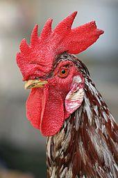 Coq — Wikipédia