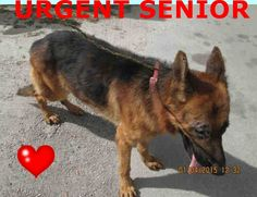 The Davinci Foundation for Animals RESCUE ACROSS THE NATION:FL WOOFY (A1670503) I am a male black and brown German Shepherd Dog. The shelter staff think I am about 9 years old. I was found as a stray and I may be available for adoption on 01/10/2015. — Miami Dade https://www.facebook.com/urgentdogsofmiami/photos/pb.191859757515102.-2207520000.1420573172./903217449712659/?type=3&theater