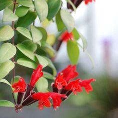 Nome botanico: Aeschynanthus pulcher (Blume) G.Don. Nomes Populares :planta-batom Família : Angiospermae - Família Gesneriaceae Origem: Java
