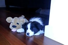 When the toy is bigger than your Border Collie pup!