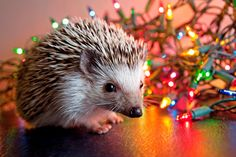 Holiday Hedgehog Print -- Have a cute Christmas / by Lindsay Curgan Photography, $26.00 on Etsy!