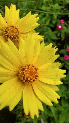 黄色い花に水滴が・・・。To a yellow flower a drop of water.