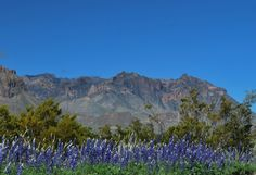 Bluebonnets with Chisos Mountains in background. Big Bend National Park Photo By: Tim Speer