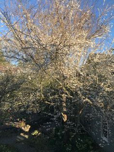 My beloved plum tree on a gorgeous spring day