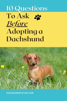 Questions You should Ask A Dog Breeder or Dachshund Rescue before adopting a dachshund.  How many different breeds do you sell?  How long have you been breeding dachshunds? How often is the dachshund dam (mother) been bred?  #dachshund  #doxie