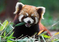 Red Panda IT'S SO CUTE
