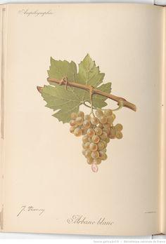 Ampélographie : traité général de viticulture. Tome 4 / publié sous la direction de P. Viala,..., V. Vermorel,... ; avec la collaboration de A. Bacon, A. Barbier, A. Berget... [et al.]