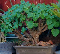 Pelargonium cotyledonis bonsai