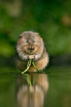 Arguably the cutest water vole in the world. Photo by Jules Cox