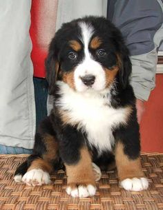 bernese mountain dogs are adorable!!