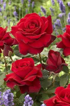 !!! Red Roses !!!...