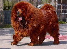 A Red Tibetan Mastiff is the most expensive dog in the world. They can cost over one million dollars each.