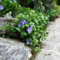 Barwinek pospolity to bardzo popularna roślina okrywowa, chętnie sadzona w ogrodzie. Roślina ta poradzi sobie nawet w ciemnych zakątkach ogrodu. Podpowiadamy jak uprawiać barwinek w ogrodzie. Zastosowanie barwinka w ogrodzie.  - Wymarzony Ogród