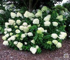 Hydrangea paniculata 'Limelight' - Pluimhortensia