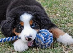 Ugh, can those eyes be any cuter?! | Community Post: 19 Bernese Mountain Puppies Who Just Want To Make Your Day Better