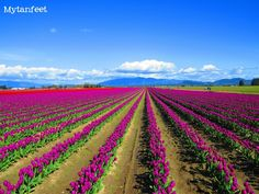 Skagit Valley Tulip Festival in #Washington #Pacificnorthwest