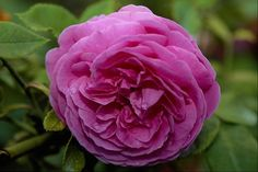 Beautiful Flowers   Most Beautiful Rose Flower Image   All Flowers   Send Flowers Comments ...