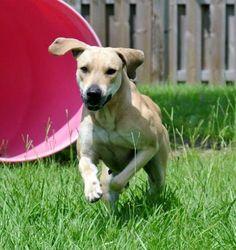 Petfinder  Adoptable | Black Mouth Cur | Dog | Sebastian, FL | Honey